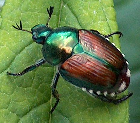 japanese adult beetles controlling