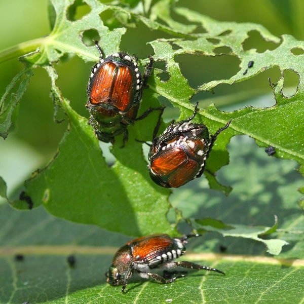 beetles japanese adult controlling