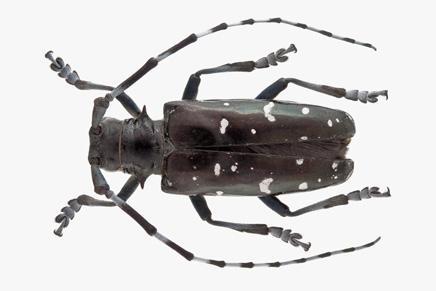 asian longhorned beetle anoplophora